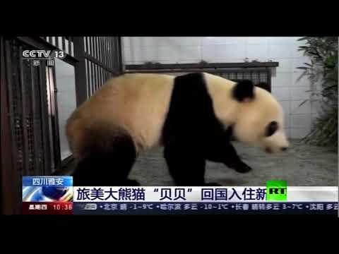شاهد وصول الباندا العملاقة بي بي إلى جمهورية الصين