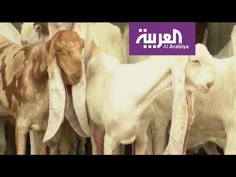 شاهد قصة الماعز الحجازي الذي تصل أسعاره لـ 150 ألف ريال