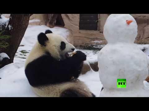 شاهد باندا تتعرف على رجل الثلج في حديقة موسكو للحيوان