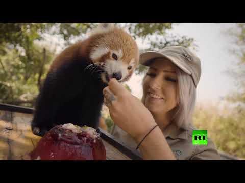 آيس كريم وبطيخ للحيوانات البرية في رمضاء أستراليا