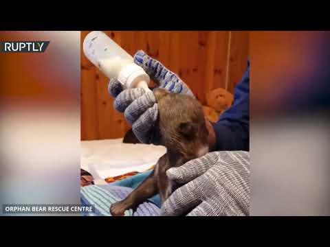 شبلان يتيمان من الدببة البنية يعثران على مأوى جديد متخصص