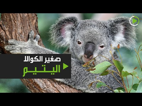 شاهد صغير الكوالا اليتيم يعيش وحيدًا في كاليفورنيا بسبب كورونا