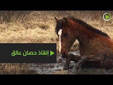 شاهد إنقاذ حصان من مستنقع طيني في كندا