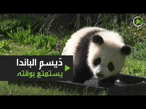 شاهد دّيسم الباندا يستمتع بوقته رغم غياب الزوّار