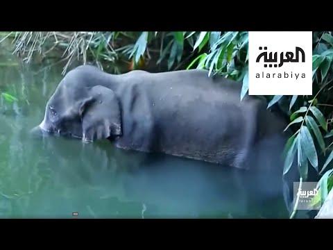 شاهد قتل أنثى فيل في الهند يُثير موجة غضب كبيرة