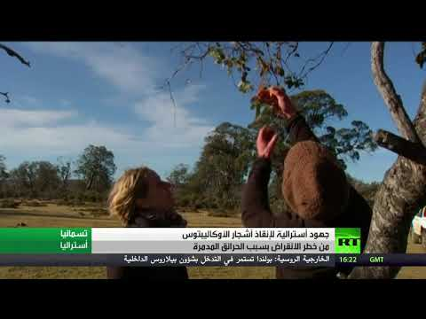 شاهد جهود أستراليا لإنقاذ أشجار الأوكاليبتوس من الإنقراض