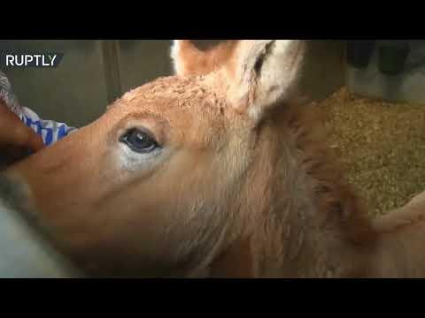 شاهد ولادة مهر مستنسخ يضيء الأمل لمستقبل الخيول المهددة بالانقراض