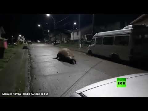 شاهد حيوان بحري ضخم يفاجئ سكان مدينة تشيلية بجولته الليلية في الشوارع