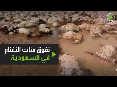 نفوق نحو 1000 رأس غنم بسبب السيول في شعيب عرعر السعودية