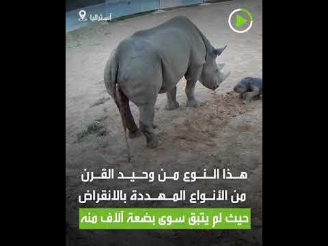 شاهد ولادة وحيد قرن أسود نادر في حديقة حيوان أسترالية